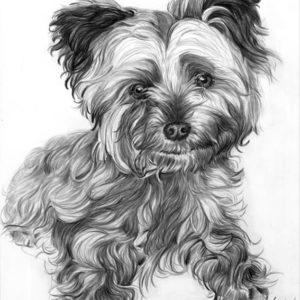Portrait yorkshire crayon graphite